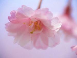 цветущая-сакура-символ-обновления